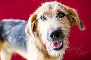 male-wirehair-germansheppardmix-tan-black-dog-rescue